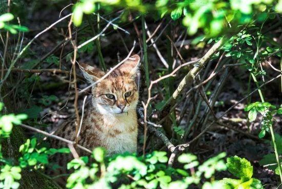 Savannah-kat Walhallah is gevangen en weer terug bij zijn baasje